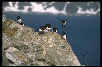 : Alle alle; Little Auk, Dovekie