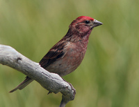 : Carpodacus cassinii; Cassin's Finch