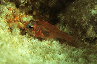 Apogon erythrinus, Hawaiian ruby cardinalfish: