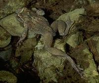Image of: Ascaphus truei (tailed frog)