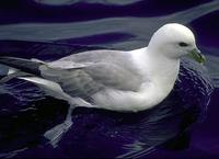 Image of: Fulmarus glacialis (northern fulmar)