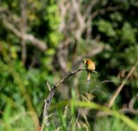 Image of: Merops pusillus (little bee-eater)