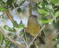 New Zealand Bellbird (Anthornis melanura) photo