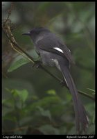 Long-tailed Sibia - Heterophasia picaoides