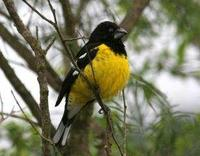 * Black Back Grosbeak
