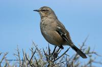 *NEW* Patagonian Mockingbird