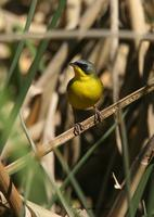 *NEW* Masked Yellowthroat - male