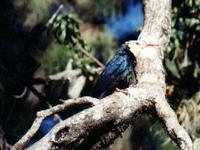 White-headed Woodhoopoe (Phoeniculus bollei)