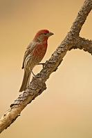 House Finch ( Carppdacus mexicanus ) Male , Gila National Forest , New Mexico stock photo