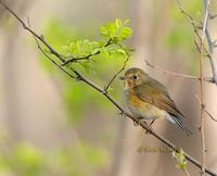 Red-flanked bluetail C20D 02659.jpg