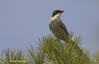 : Cyanopica cyana; Azure-winged Magpie