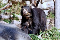 : Tremarctos ornatus; Spectacled Bear