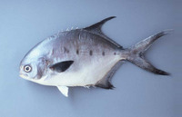 Trachinotus marginatus, Plata pompano: fisheries