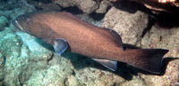 Mycteroperca olfax, Sailfin grouper: fisheries