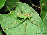 Leptophyes punctatissima - Specked bush-cricket