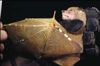 Image of: Nyctimene rabori (Philippine tube-nosed fruit bat)