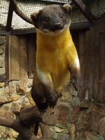 Martes flavigula - Yellow-throated Marten