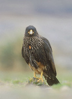 Striated Caracara (Phalcoboenus australis) photo