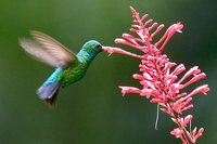Glittering-bellied Emerald - Chlorostilbon aureoventris