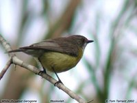 White-throated Gerygone - Gerygone olivacea