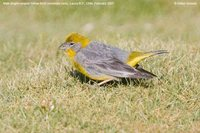 Bright-rumped Yellow-Finch - Sicalis uropygialis