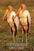 yellow billed storks stock photo