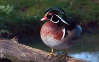 A Carolina duck, with a dark green head and startling bright red eyes, standing on a log.
