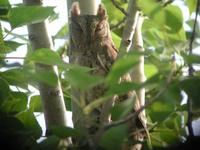 Oriental Scops-Owl Otus sunia 1-2 in The Magic Wood showed very well.