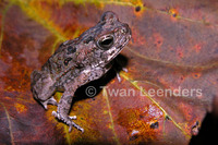 : Bufo quercicus; Oak Toad