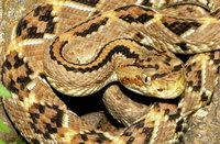 : Crotalus simus culminatus; Northwest Neotropical Rattlesnake