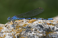 : Argia vivida; Vivid Dancer