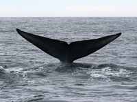 Blue Whale flukes. 14 October 2006. Photo by Troy Guy