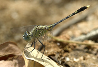 Diplacodes trivialis  Chalky Percher photo