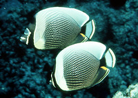 Chaetodon reticulatus, Mailed butterflyfish: fisheries, aquarium