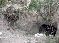 Image of: Athene cunicularia (burrowing owl)