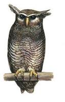 Image of: Bubo sumatranus (barred eagle-owl)