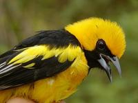 Image of: Icterus mesomelas (yellow-tailed oriole)
