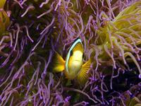 Image of: Amphiprion (anemonefishes)