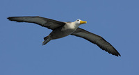 Waved Albatross (Diomedea irrorata) photo