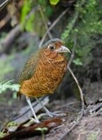 Giant Antpitta (Grallaria gigantea) photo