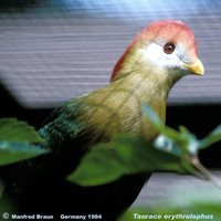 Red-crested Turaco - Tauraco erythrolophus