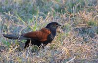 Greater Coucal - Centropus sinensis
