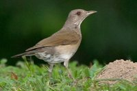 Pale-breasted Thrush - Turdus leucomelas