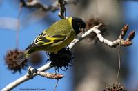 *NEW* Hooded Siskin