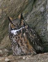 Great Horned Owl March 06