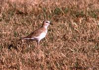 Mountain Plover at Turlock lake inlet © 2000 Jim Gain