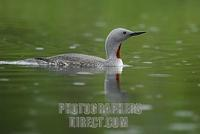 Red throated Diver ( Gavia stellata ) , swimming , drizzle stock photo