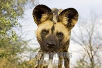african wild dog ( Lycaon pictus ) , Namibia , Africa stock photo