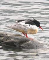 Whereas Scaly-sided Merganser are only reliably found at one site.