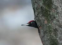 까막딱다구리(Drycopus martius) (Black Woodpecker)